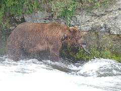 DSC07562 (jrucker94) Tags: alaska katmai katmainationalpark nationalpark bear bears grizzly grizzlybear brooksriver nature outdoors