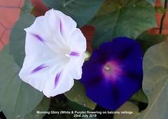 Morning Glory (White & Purple) flowering on balcony railings 23rd July 2018 (D@viD_2.011) Tags: morning glory white purple flowering balcony railings 23rd july 2018