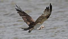 Osprey - Falco Pescatore (Pandion haliaetus) (Michele Fadda) Tags: canoneos70d sigma150600mmf563dgoshsmsport sardinia sardegna italy osprey pandionhaliaetus falcopescatore rapace raptor free avifauna faunaprotetta nature natura photoscape