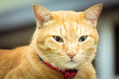 """""""DOAN WANTS TO LOOK AT CAMERA. NO MOOD!"""" (stratman² (2 many pix!)) Tags: canonphotography eos60d b005e efs55250mmf456isstm iso3200 littlejoey gingercats gato chat tabby moggie oreengenesses flickrelite creativecommons"""