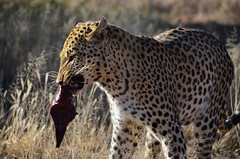 DSC_4276 (Andrew Nakamura) Tags: namibia africa windhoek wildlife animal mammal felidae bigcat leopard africanleopard felid naankuse wildlifesanctuary