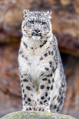 Standing and posing (Tambako the Jaguar) Tags: snowleopard uncia fluffy sitting posing serious proud portrait rock stone basel zoo zolli switzerland nikon d5