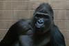 Almost Human?! (1/2) (jkiter) Tags: deutschland gorilla münsterland affe tier säugetier münster natur allwetterzoomünster animal germany mammal nature monkey