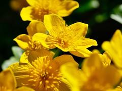 Marsh Marigolds (David S Wilson) Tags: leica2845macrolens floral 2018 england flowers cambridgeshire flowersplants uk ely lumixgm5 davidswilson fens
