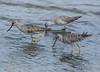 F_042218f (Eric C. Reuter) Tags: birds birding nature wildlife nj forsythe refuge nwr oceanville brigantine april 2018 042218