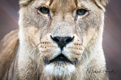 Lioness Portrait (mperrett1234) Tags: animal wildlife lioness lion portrait colchester zoo sony dslr a77ii