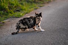 LR-DSCF9815 (studiofuntas) Tags: machineko yodogawa straycat higashiyodogawaku joggingroad road pet grass animal soil cat