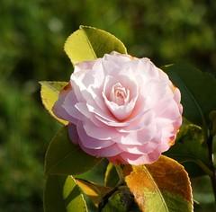 Camellia (Dun.can) Tags: pink camellia flower bokeh spring garden