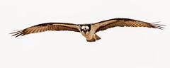 Osprey (mattbpics) Tags: raptor osprey longbeach stratford connecticut 70d tamron 150600 150600mm bird nature wildlife