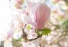 """Magnolia Soulangeana """"Flickr Friday - Flares"""" (grothe.manuel) Tags: flower highkey flare lensflare sunlight magnolia nikond810 sigmaart35mm14 flickrfriday"""