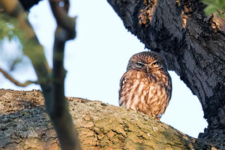 Little owl - Steinkauz
