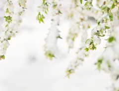 Snow in Spring (Suump) Tags: spring snow flowers white flower macro blossom tree