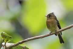 Tufted Flycatcher (fernaabs) Tags: tufted flycatcher mitrephanes phaeocercus mosquerito moñudo passeriformes tyrannidae aves fernaabs burgalin avesdecostarica