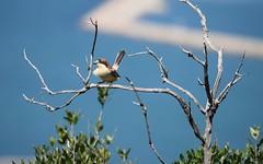 Woodchat Shrike (Clare_leeloo) Tags: woodchatshrike shrike birds gibraltar wildlife nature