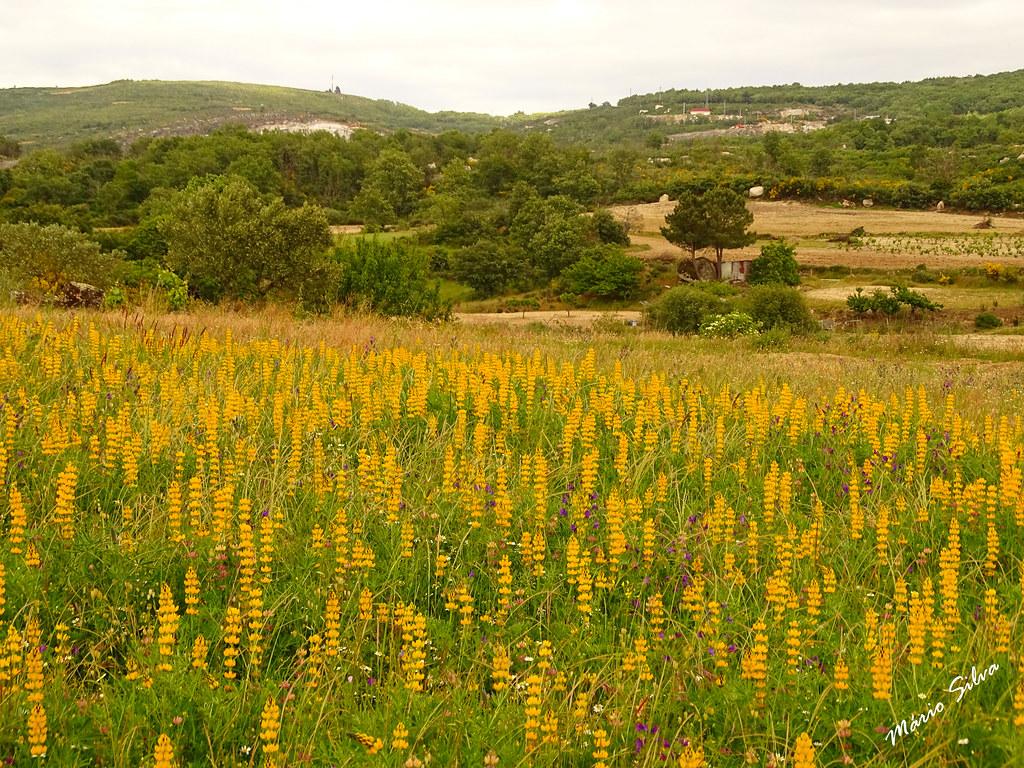 Águas Frias (Chaves) - ... paisagem com predominância de flores campestres amarelas ...