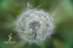 Dandelion (Janika Schindler) Tags: dandelion flower seeds macro closeup fineart shot nature cre creative art photography plant inspiration canon60d