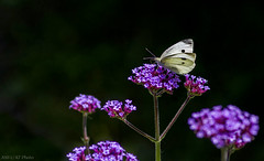 White Butterfly in sunlight - I (KF-Photo) Tags: weisling butterfly pfrondorf