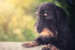 I'm a good girl (Ro Cafe) Tags: milonga doggie dog teckel dachshund portrait outdoor garden bokeh nikkormicro105f28 nikond600