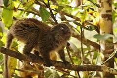 IMG_8444 Eastern lesser bamboo lemur (Hapalemur griseus) (Kalina1966) Tags: madagascar animals lemur coth5