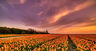 A sea of orange tulips and a complimentary sky.