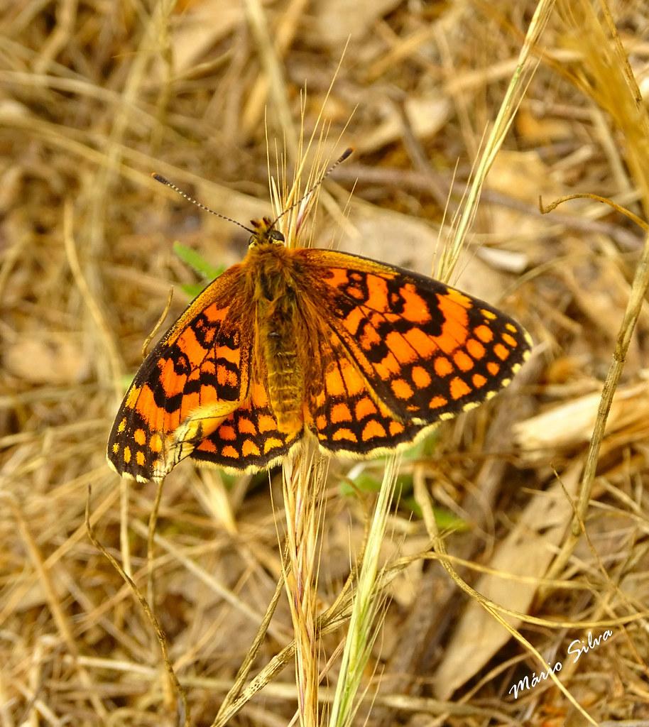 Águas Frias (Chaves) - ... borboleta nas ervas secas ...
