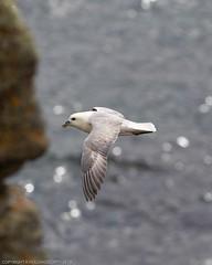 Next Morning at Latheronwheel harbour (doublejeopardy) Tags: latheronwheel seabird scotland unitedkingdom gb