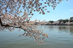 DSC_0069 (afagen) Tags: washington dc washingtondc districtofcolumbia tidalbasin cherryblossom sakura blossom