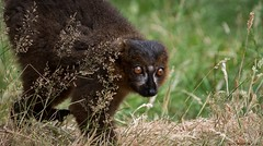 Red-bellied lemur (Eulemur rubriventer) has clocked something... (claudiacridge) Tags: