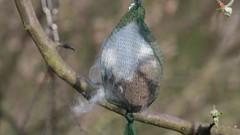 Wie man seine Blaumeisen glücklich macht..... (Vasquezz) Tags: meise tit blaumeise bluetit vogel bird frühjahr spring natur nature garten garden nistmaterial nestingmaterial