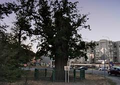 500-Year-Old-Oak-1 (DementyD) Tags: city astrakhan oak acorn street город астрахань дуб желуди улица
