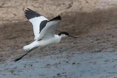 Avocet (Tim Melling) Tags: recurvirostra avosetta avocet flying east yorkshire timmelling