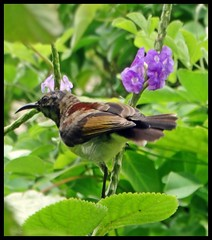 Sunbird (Indianature14) Tags: sunbird citybird bird butterflynectarplant stachytarpheta stachytarphetaindica stachytarphetajamaicensis nature natureinthecity naturemumbai indianature july 2018 mumbai india bombay maharashtra urban city monsoon monsoons