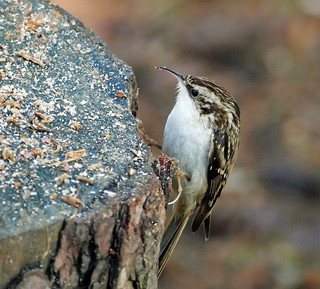 Treecreeper in Tentsmuir forest