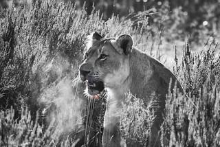 Breakfast Lion touch