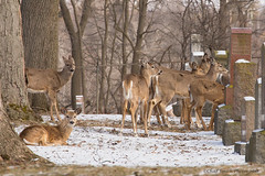 Woodland Cemetary London, Ontario (Chadsmithphotos) Tags: nature photography wildlife deer geese winter spring april animals