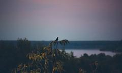 A Perfect Evening (Inka56) Tags: fast flickrfriday 7dwf landscape blackbird songbird sunset tree bluehour sky goldenhour danube river