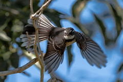 Grey Fantail Flight (armct) Tags: greyfantail fantail takeoff launch garden insectivore feathers flight display goldcoast native indigenous australia rhipiduraalbiscapa alisteri