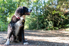 In the morning sunshine (Captain192) Tags: dog dogs collie spaniel spanielcolliecross bordercollie sprollie outwoods theoutwoods trees paths footpaths sunlight morning shadows