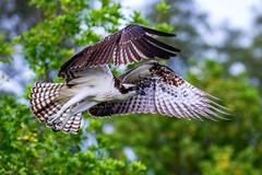 Osprey Takeoff (dbadair) Tags: outdoor seaside shore sea sky water nature wildlife 7dm2 ocean canon florida bird flight bif