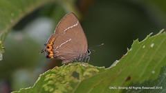 White Letter Hairstreak, self found on my patch (snapp3r) Tags: butterfly newtonstloe sevenacrewood whiteletterhairstreak