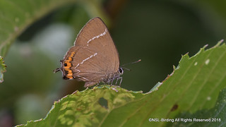 White Letter Hairstreak, self found on my patch