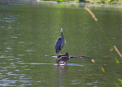 IMG_1096 (aschroeder79) Tags: greatblueheron heron bird wildlife