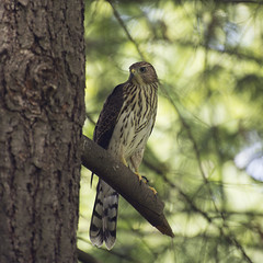 Family of Cooper's Hawks (amy buxton) Tags: amybuxton stlouis animals summer birds hawk coopershawk natural nature instagram