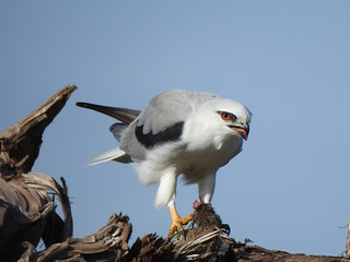Black-shouldered Kite (Elanus axillaris) feeding on a House Mouse at Kolora