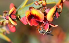 Empididae (jeans_Photos) Tags: empididae kentroad wandoonationalpark flynn york westernaustralia daviesiadecurrens tiny fly diptera