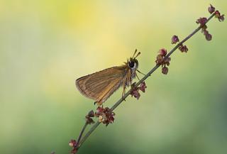 Zwartsprietdikkopje - Thymelicus lineola.
