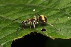 Hymenoptera sp. (Ant) - Kibale NP, Uganda (Nick Dean1) Tags: hymenoptera animalia arthropoda arthropod hexapoda hexapod insect insecta uganda entebbe