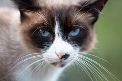 Caramel's head (gaillardou) Tags: 70 200 mm f4 ii cat chat new canon nature animal amateur wild oeil