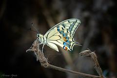 6 luglio 2018 (adrianaaprati) Tags: papiliomachaon macaone butterfly farfalla park blur beauty colors closeup wings