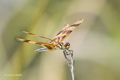 Halloween Pennant 500_8861.jpg (Mobile Lynn) Tags: nature pennant dragonfly insects celithemis fauna insect wildlife homestead florida unitedstates us
